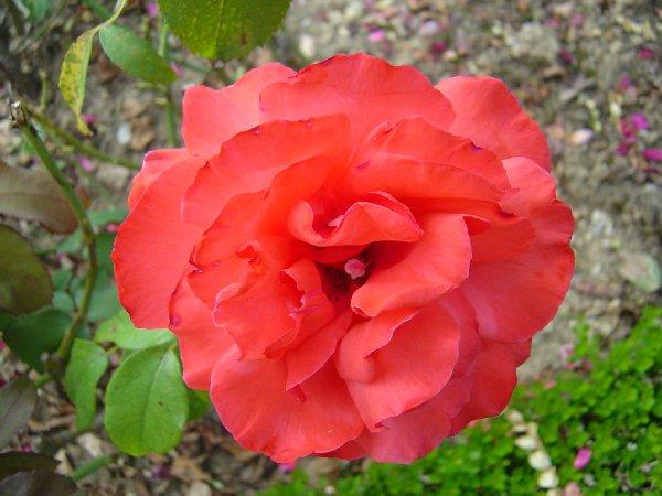 巴黎拉賓紀念公園-玫瑰花