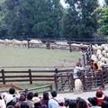 清境農場的趕綿羊