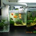實驗室和學妹一起養的魚,有些是學妹買的,有些是我在ptt要來或換來的.