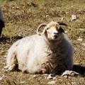 青海藏系绵羊