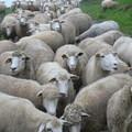 成群绵羊 可爱无比