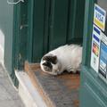 離開衛城 在普拉卡區的店家門口遇到 睡在國王枕頭的貓(脖子不會酸嗎)
