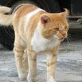 米克諾斯 港邊附近的貓老大 感覺真是歷經風霜