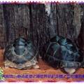 綠世界-亞伯達拉象龜