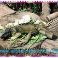 綠世界-綠鬣蜥