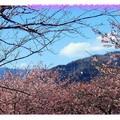 2008日本東京伊豆半島賞河津櫻之旅