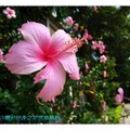粉色朱槿(扶桑花)-彰化藝術高中(001)