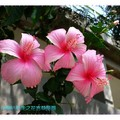 粉色朱槿(扶桑花)-彰化藝術高中(003)