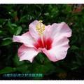 粉白色朱槿(扶桑花)-沖繩之玉泉洞外(008)