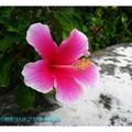 白邊深粉紅朱槿(扶桑花)-沖繩之玉泉洞外(009)
