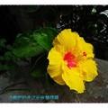 黃色朱槿(扶桑花)-彰化田尾菁芳園(014)