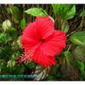 紅色朱槿(扶桑花)-萬里獅頭山公園(018)