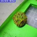 綠角蛙(192)