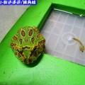 綠角蛙(193)