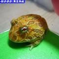 黃金角蛙(200)