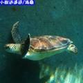 沖繩-海洋博公園水族館之海龜(203)