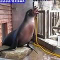 遠雄悅來渡假飯店-海洋公園等待拍照之海獅(207)
