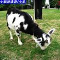 沖繩-山中森林廣場之羊兒(208)