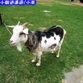 沖繩-山中森林廣場之羊兒(209)