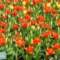 這些照片,有些是在荷蘭的庫肯霍夫花園 (Keukenhof) 拍的,也有一些是在荷蘭每十年一次的花展(Foriade) 拍回來的!