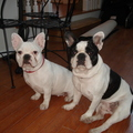 他們是法國鬥牛犬,Buster是通過網上購買時只有2週大,他非常好看,Gidget是女兒的朋友給我們的禮物,她越來越漂亮 Buster比Gidget 大二歲,他們是兒子的寶貝