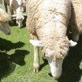 清境農場綿羊2