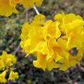 八掌溪河畔黃風鈴花盛開