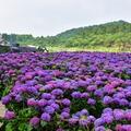 2017竹子湖绣球花