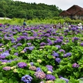 2017竹子湖繡球花