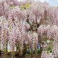 足利花卉公园(紫藤篇)