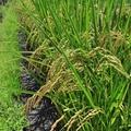 稻穗成熟与收割(池上天堂之路))