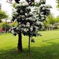 招摇的流苏树1