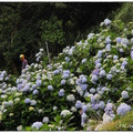 竹子湖绣球花