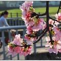 新店溪左岸櫻花