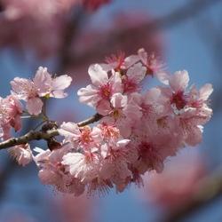 九族文化村:白天到夜晚赏樱乐