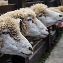 青青草原綿羊秀