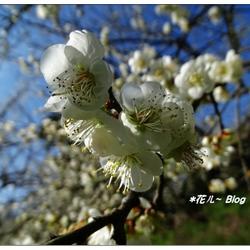 南投~烏松崙の梅花