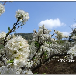 苗栗~洗水山の李花