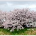 古府大橋位於日本石川縣金澤市伏見川上,伏見川畔兩旁植滿櫻花樹。