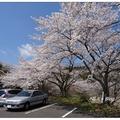 「丸岡公園」位於鹿兒島霧島市的一座大型公園,占地約二十七公頃,周邊遍植六千株櫻花。