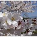 日~丸岡公園の桜花