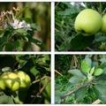 日~青森の蘋果