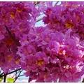 台中~红花の风铃木