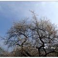 「風櫃斗」位於南投縣信義鄉,此地是梅子的故鄉,沿線山坡皆是白茫茫的花海。