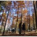 后里泰安村「如光山寺」前這遍落羽松,於冬日褐紅時,總讓喜愛者前來尋幽探訪。