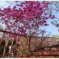 台中~紅花の風鈴木