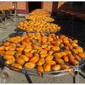 冬日到訪新埔味衛佳柿餅加工觀光農場,映入眼簾的盡是黃橙橙的筆柿,曝曬於棚架上。