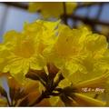 台中~黄花の风铃木