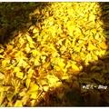札幌~橙黄の银杏果