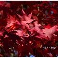 「福壽山農場」位於合歡山與雪山群峰間,農場即是梨山的後山,群山環抱,視野遼闊。  11月份是最佳的欣賞楓紅與採果的季節。